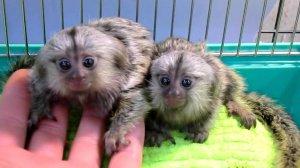 criadero de monos titi en espana