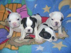Vendo cachorros bulldog frances medell n avisos y - Bulldog frances gratis madrid ...