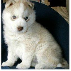 Hermoso Siberian Husky Cachorros para venta a precio muy